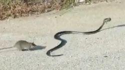 Cette maman rat attaque un serpent pour sauver sa progéniture