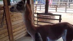 L'amour de ce lama pour les souffleurs à feuilles vous fera sourire