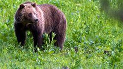 Un grizzly attaque et tue un cycliste au