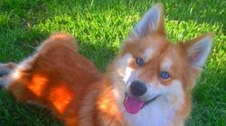 Tout le monde est amoureux de ce «chien-renard» aux yeux