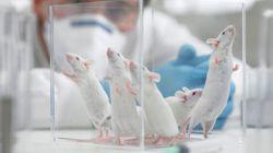 Des souris transformées en féroces prédateurs en stimulant une zone de leur