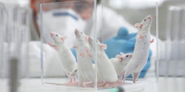 Des souris transformées en féroces
