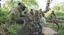 La réaction de ces singes à la mort d'un petit robot singe est incroyablement