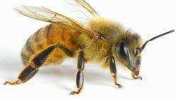 Une «attaque d'abeilles» cause l'annulation d'un match de