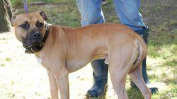 Loi anti-pitbull: une centaine de chiens transférés à l'extérieur du