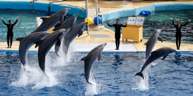 Dolphins perform during a press visit at the Marineland zoo in Antibes before its reopening, six months after the flooding that affected the French Riviera in October 2015, in Antibes, France, March 17, 2016. REUTERS/Eric Gaillard