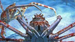 Ces crabes géants ressemblent aux hordes de zombies de «The Walking