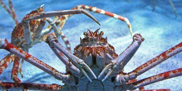 Spider crabs crawl through their 20,000 liter-basin at the Sea Life aquarium in Timmendorfer Strand,...