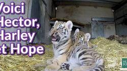 Les bébés tigres qui grandissent trop vite