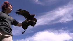 Les secrets du dressage des oiseaux de proie