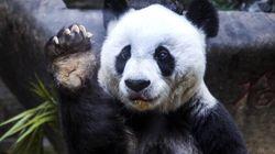 Pan Pan, le plus vieux panda mâle du monde, est