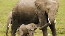 La population des éléphants d'Afrique au plus bas depuis 25