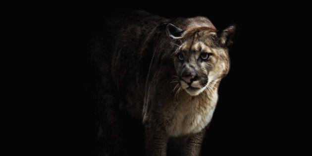 Cougar on black background