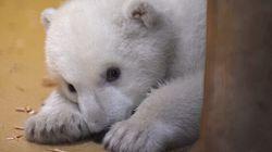 Ce petit ourson polaire va vous faire