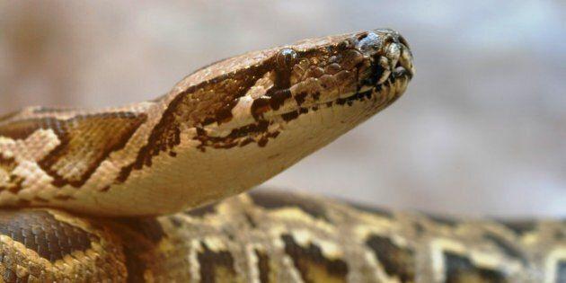 Saint-Eustache: le python porté disparu demeure