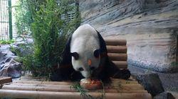 Un gâteau spécial pour l'anniversaire d'un panda au zoo de