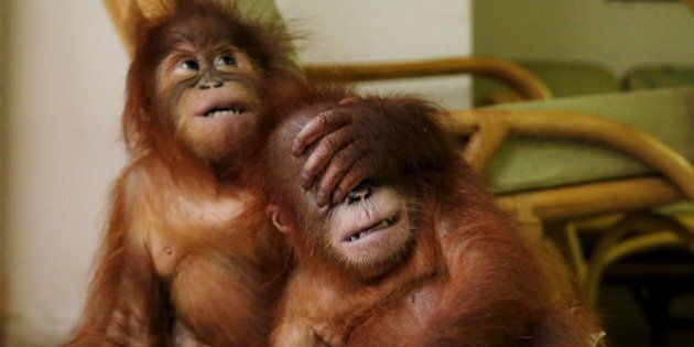 Two baby orangutans play with each other at the wildlife department in Kuala Lumpur, Malayasia, October...