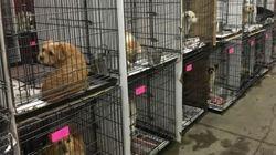 37 chiens destinés à être mangés rapatriés à