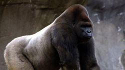 Bantu le gorille-star est