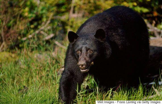 Cette ourse n'aurait jamais dû s'en prendre à ce boxeur de 61