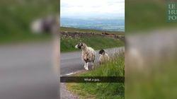 Mieux qu'un GPS, ces moutons vous indiquent votre chemin d'un coup de tête