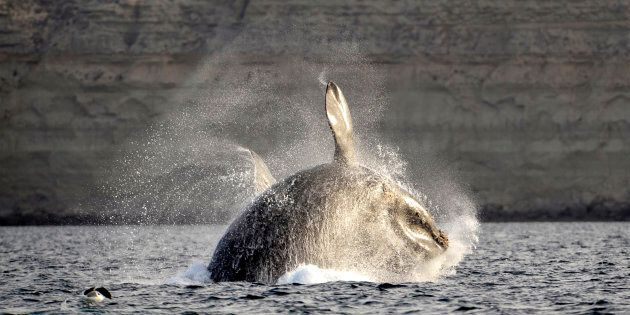 Fin de la pêche au crabe au Canada pour protéger les baleines