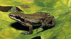 La protection d'une grenouille inquiète les constructeurs