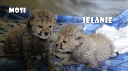 Voyez les tout premiers guépards nés au