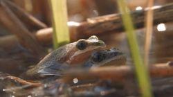 La petite grenouille qui tient tête aux