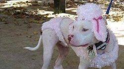 Un «camouflage pour pitbull» à vendre sur