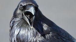 Les corbeaux comme les humains et les grands singes capables