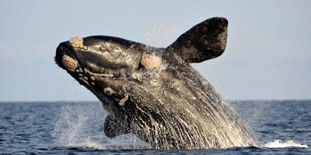 Une aire protégée est-elle la solution pour sauver les baleines