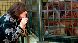 Un des rares orangs-outans à avoir appris le langage des signes est