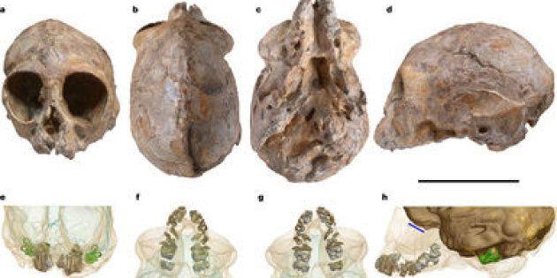 Un crâne de primate donne de précieux indices sur l'évolution des grands