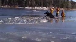 Vidéo d'une orignale sauvée des eaux: ces pompiers reçoivent un