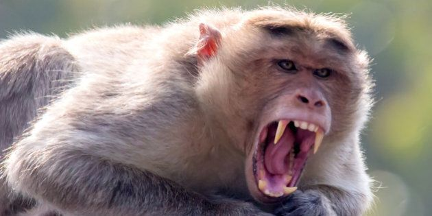 Portrait of a monkey with angry face.