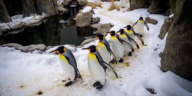 King Penguins walking at an outdoor exhibit at the
