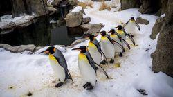 Sept pingouins mystérieusement noyés dans un zoo au