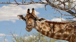 La girafe pourrait