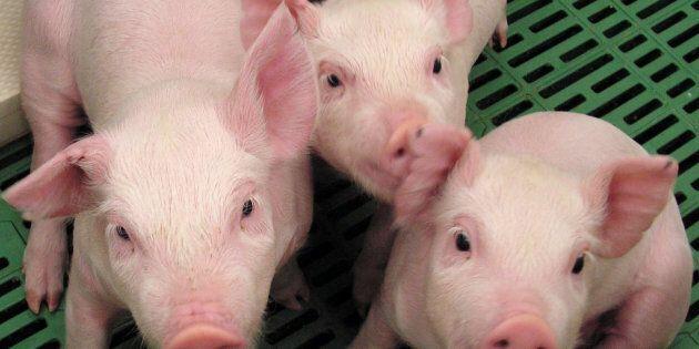 Des porcs génétiquement modifiés pour être donneurs