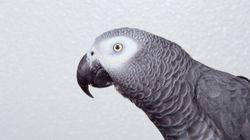 Des parents sont convaincus qu'un perroquet a assisté au meurtre de leur