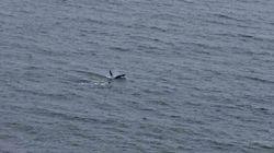 La présence d'épaulards dans la baie d'Hudson menace les