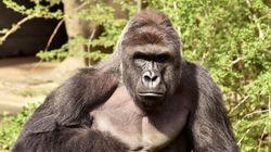 Gorille abattu: un procureur décidera si les parents seront