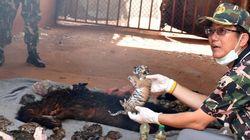 Thaïlande: 40 bébés tigres trouvés dans un