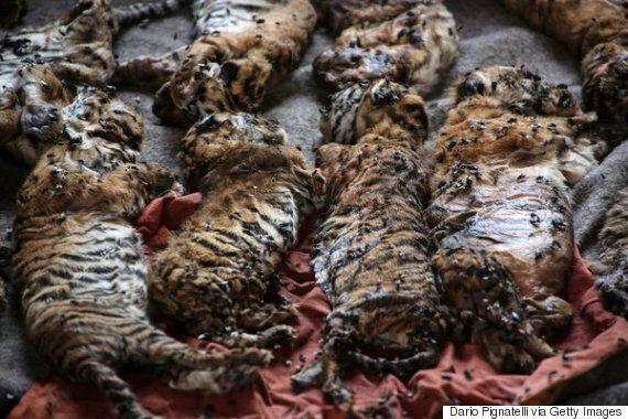 Thaïlande: des dizaines de bébés tigres congelés découverts au