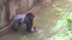 La police enquête sur la mort du gorille tué pour sauver un