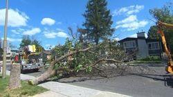 Montréal intensifie sa lutte contre l'agrile du frêne