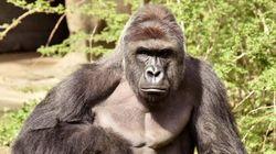 Fallait-il tuer le gorille Harambe? Un expert se