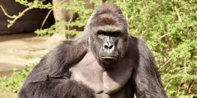 Harambe, a 17-year-old gorilla at the Cincinnati Zoo is pictured in this undated handout photo provided...