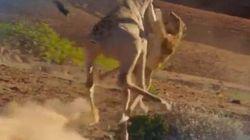 Cette girafe qui envoie valser une lionne affamée inspire les